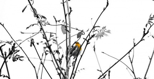 7-black-white-bird-yellow